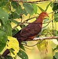 Philippine Cuckoo-Dove (Macropygia tenuirostris), Bangkong Kahoy valley, Luzon, Philippines (13736387065) (cropped).jpg
