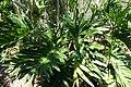Philodendron bipinnatifidum (Philodendron selloum) - Naples Botanical Garden - Naples, Florida - DSC09593.jpg