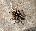 Phlegra fasciata. Salticidae - Flickr - gailhampshire.jpg