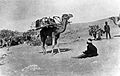 Photograph of camel with stretcher carrier. Wellcome L0023605.jpg