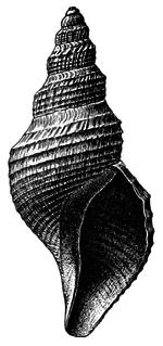 <i>Phymorhynchus</i> Genus of gastropods