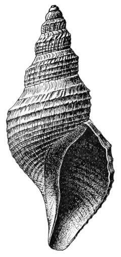 Phymorhynchus castaneus shell.png