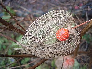 Physalis alkekengi - Physalis alkekengi, or the Chinese lantern, dries during spring. Once it is dried, the bright red fruit is seen.
