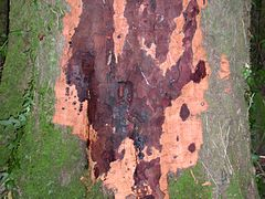 Phytophthora kernoviae - Beech tree infection cropped.jpg