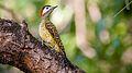 Pica-pau-carijó no Parque do Cocó.jpg