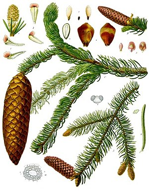 Picea abies - An 1885 illustration of P. abies, showing the cones and leaves.
