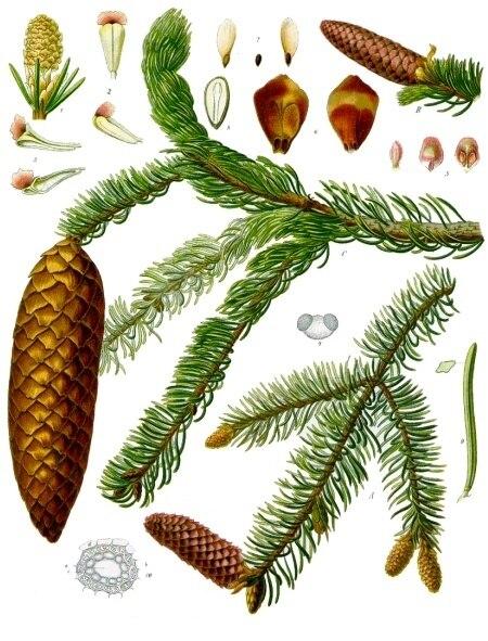 Picea abies - K%C3%B6hler%E2%80%93s Medizinal-Pflanzen-105