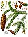 Picea abies - Köhler–s Medizinal-Pflanzen-105.jpg