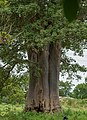 Pied de Adansonia digitata dans le village de KOTA.jpg