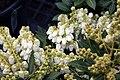 Pieris japonica Prelude 0zz.jpg
