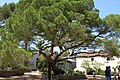 Pine 1856 - Plantet to celebrate Garibaldis daugther Clelias birt, Arcipelago di La Maddalena National Park, La Maddalena Olbia-tempio, Sardinia, Italy - panoramio.jpg