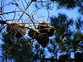 Pine Cones as Mistletoe (3088887760).jpg