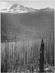 "Pine trees, snow covered mountains in background, ""Burned area, Glacier National Park,"" Montana. (vertical orientation), - NARA - 519858.tif"