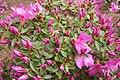 Pink azalea shrub (48839191731).jpg