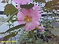 Pink flowers , Uttrakhand.jpg