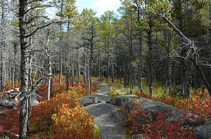 Jack pine - P. banksiana forest with Vaccinium groundcover