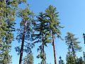 Pinus lambertiana trees Sequoia NP.jpg