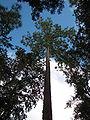 Pinus palustris Lake George.jpg