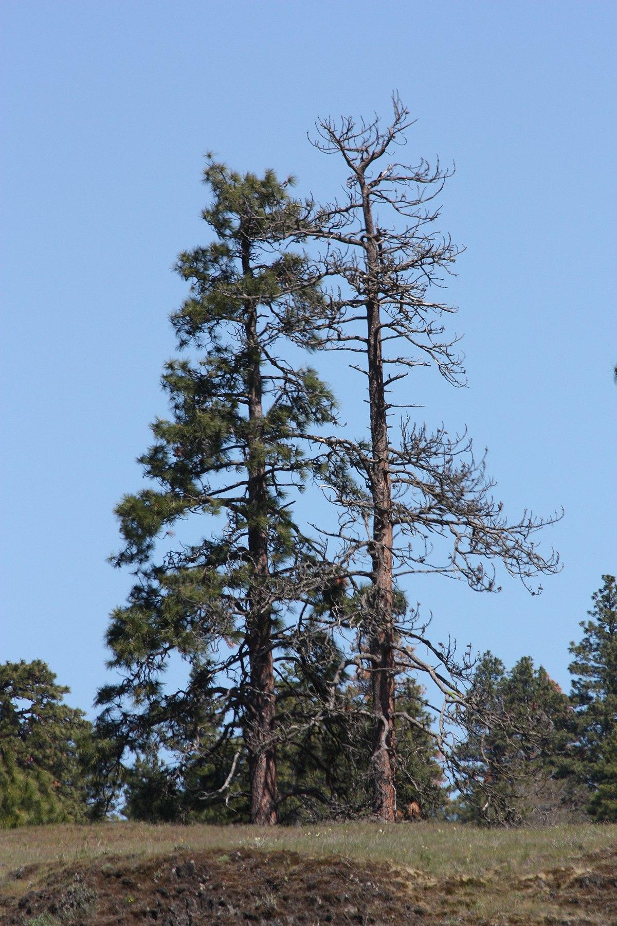 Ponderosa Pine Tree Images Pinus ponderosa - Wiki...