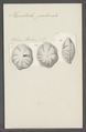 Placentula pulvinata - - Print - Iconographia Zoologica - Special Collections University of Amsterdam - UBAINV0274 113 04 0024.tif