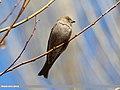 Plain Mountain Finch (Leucosticte nemoricola) (16554338455).jpg