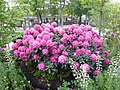 Plants of Tivoli Gardens 2018 02.jpg