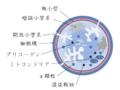 Platelet structure - ja.png