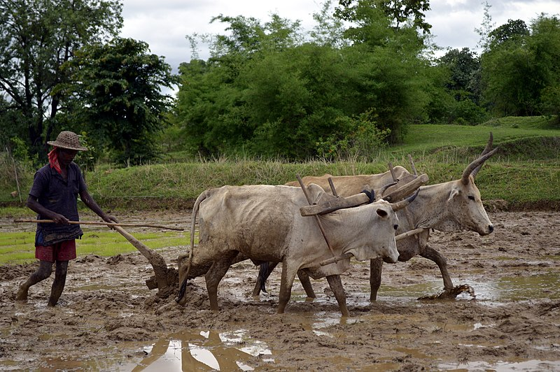 File:Ploughing a paddy field with oxen, Umaria district, MP, India.jpg
