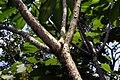 Plumeria rubra 9zz.jpg