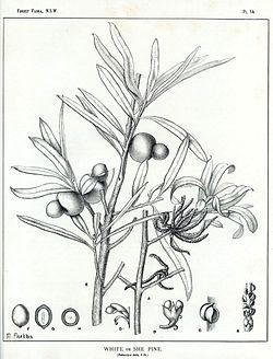 Podocarpus elatus00.jpg
