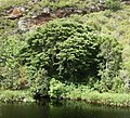 Podocarpus latifolius Real yellowwood tree South Africa 4.JPG