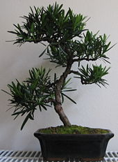 List Of Species Used In Bonsai Wikipedia