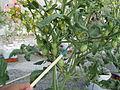 Pokok tomato ceri.JPG