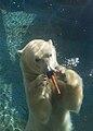 Polar bear in San Diego Zoo, 2009-10-18 02.jpg