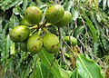 Polyalthia longifolia fruits - at Beechanahalli 2014 (2).jpg