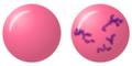 Polychromatic erythrocyte.png