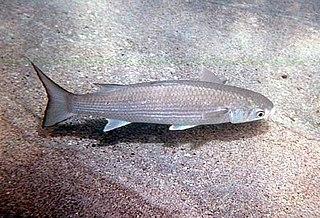 <i>Polydactylus sexfilis</i> species of fish