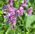 Polygala vulgaris Gand Flower, Milkwort წიწინაური (3).JPG