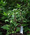 Polygonatum punctatum - Flickr - peganum.jpg