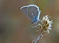 Polyommatus daphnis.jpg