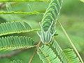 Polyura athamas - common nawab at Madayippara (1).jpg