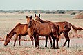 Ponies of the Delft Island.jpg