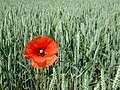 Poppy - geograph.org.uk - 187166.jpg