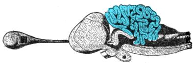 Porbeagle shark brain