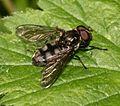 Portevinia maculata (male) - Flickr - S. Rae (1).jpg