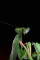Praying Mantis Sexual Cannibalism European-76.jpg