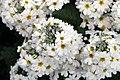 Primula Prima White 0zz.jpg