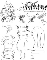 Prionospio cristaventralis (10.3897-zookeys.810.26910) Figure 3.jpg
