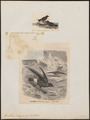 Procellaria pelagica - 1700-1880 - Print - Iconographia Zoologica - Special Collections University of Amsterdam - UBA01 IZ17900042.tif