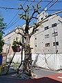 Protected tree in Shirokane.jpg